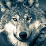 wolf-3577956_1920